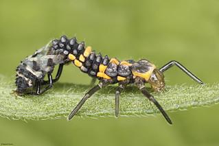 Larva de joaninha