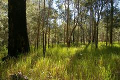 Imperata cylindrica, Casuarina torulosa and Eucalyptus resinifera, Mt Zero, WNW of Townsville, QLD, 27/03/05