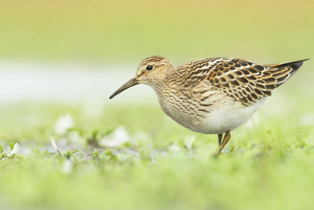 Pectoral Sandpiper- The First of Many