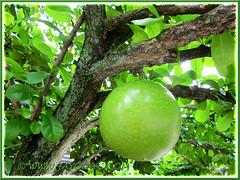 Large, round fruit of Crescentia cujete (Calabash Tree), 24 June 2013