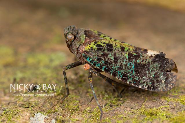 Planthopper (Penthicodes bimaculata) - DSC_7458