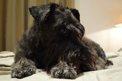 pumi(0.0), schnauzer(0.0), dog breed(1.0), animal(1.0), dog(1.0), schnoodle(1.0), pet(1.0), glen of imaal terrier(1.0), standard schnauzer(1.0), cesky terrier(1.0), bouvier des flandres(1.0), cairn terrier(1.0), miniature schnauzer(1.0), carnivoran(1.0), scottish terrier(1.0), terrier(1.0),
