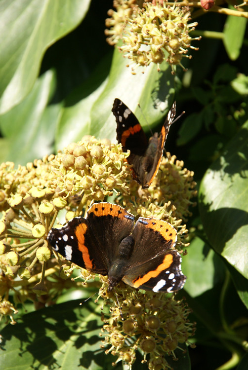 Last Chance For The Butterflies Red Admirals Saint-Sulpice Switzerland