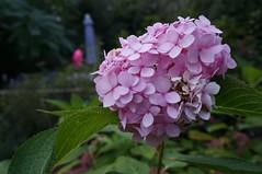 blossom(0.0), shrub(0.0), flower(1.0), hydrangea serrata(1.0), plant(1.0), lilac(1.0), flora(1.0), petal(1.0),