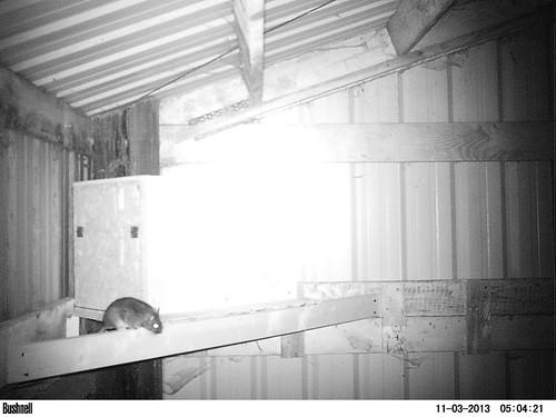 Bushy-tailed Woodrat - 11/3/2013