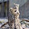 Playing young snow leopards