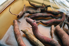 sprouting sweet potatoes 2