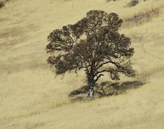 Blue oak in winter drought