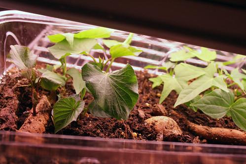 sweet potato sprouts 165