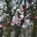 Japanese Cherry Blossom in Dulwich