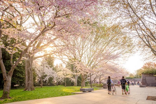 Bike Riders & Cherry Blossoms