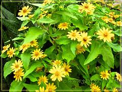 Melampodium divaricatum (Butter Daisy) - new garden addition in December 2011