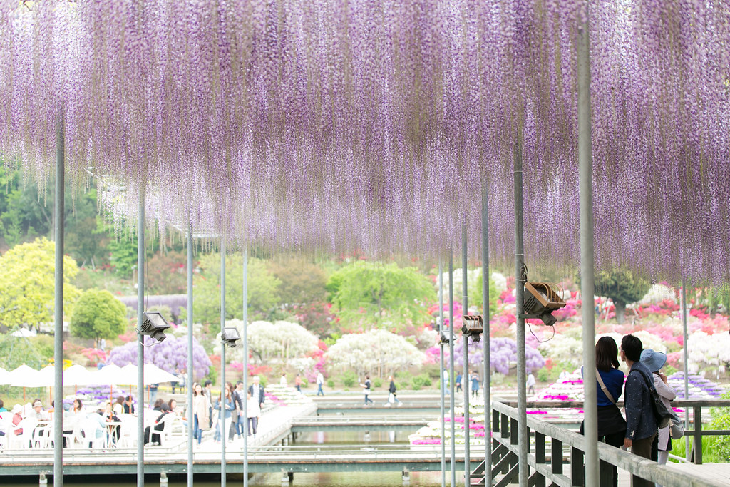 """Ashikaga Flower Park"" World's Best Wisteria!!! at Tochigi in JAPAN"