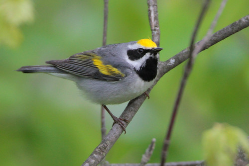 The golden wing warbler depends on thick, shrubby habitat, and NRCS is helping with owners and managers of working lands to enhance habitat for them. Photo by Greg Lavaty, NRCS.