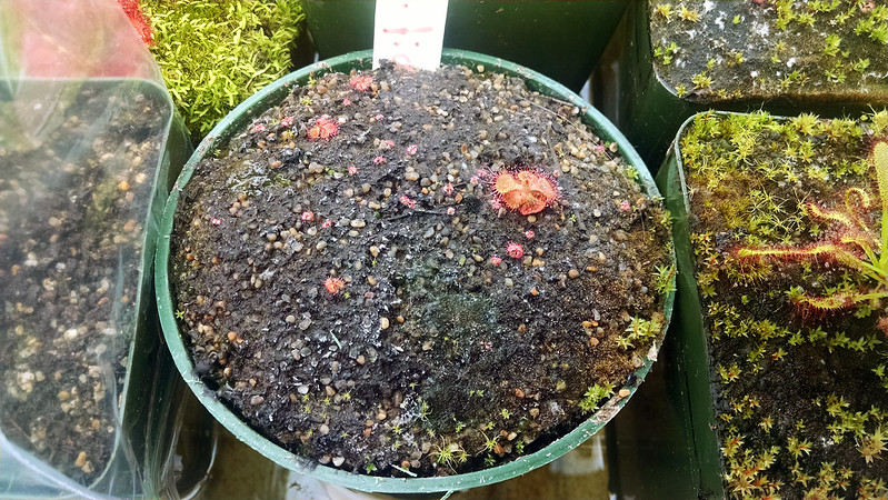 Drosera sessilifolia seedlings.