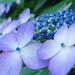 紫陽花 by sui_Camera1017