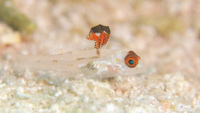 ヒレフリサンカクハゼ幼魚♪