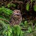 Long-Eared Owl by photogramps