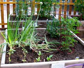 onions, tomatoes, sunflowers, borage