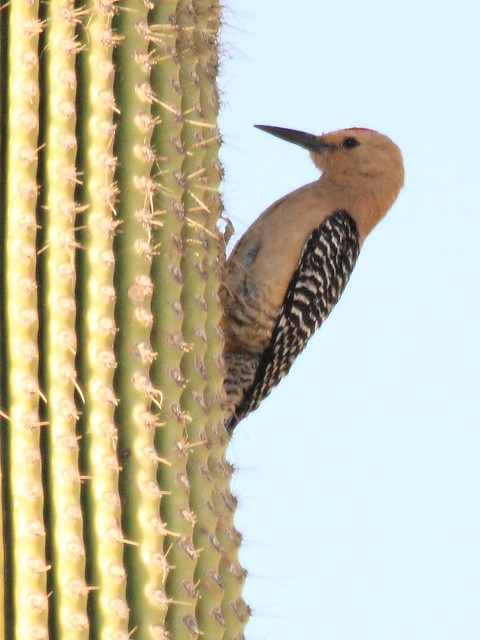 Gila Woodpecker 3-20130614 - Copy