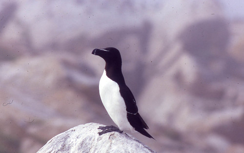 Razorbill on Machias Seal Island, 1993