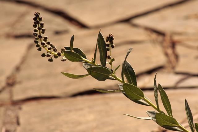 Header of Ambrosia cheiranthifolia