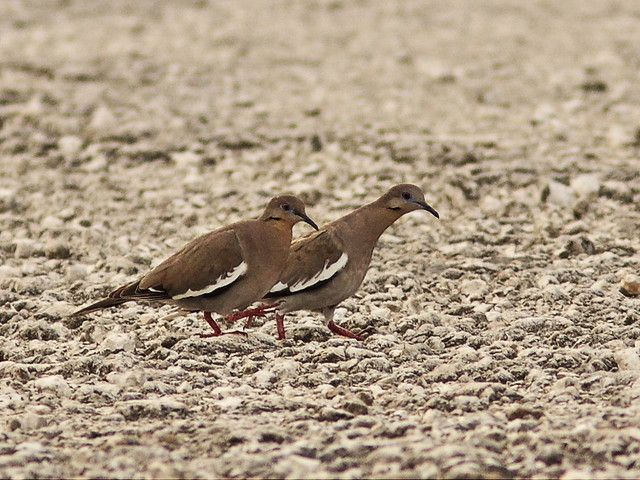 White-winged Doves 20130726