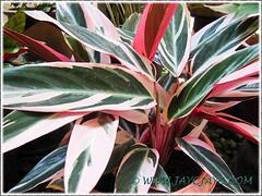 Stromanthe sanguinea 'Triostar' (Never-never Plant, Triostar Ginger, Triostar/Tricolor Stromanthe), shot June 7 2013