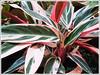 Stromanthe sanguinea 'Triostar' (Never-never Plant, Triostar Ginger, Triostar/Tricolor Stromanthe)