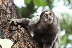 tufted capuchin(0.0), macaque(0.0), animal(1.0), primate(1.0), fauna(1.0), marmoset(1.0), old world monkey(1.0), new world monkey(1.0), wildlife(1.0),