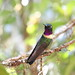 Small photo of Amethyst-throated Sunangel (Heliangelus amethysticollis)