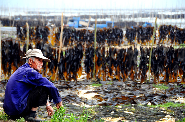 Sundried Kelp farm 曬海帶埸