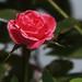 rose by bibekthecrony