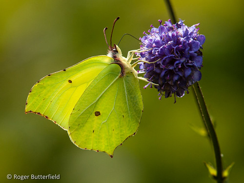 Brimstone by Roger B.