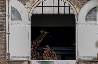 Girafes du Zoo de Londres