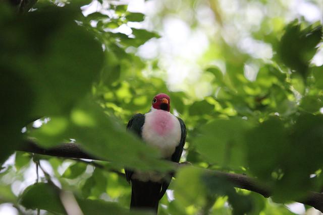 jambu fruit dove flying - photo #19