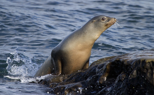 Sea lion trying to get up on the rocks