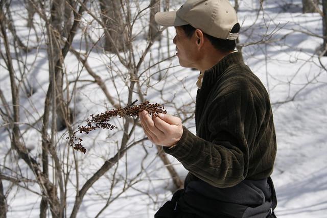 雪の上に落ちていたヌルデの実.冬鳥の食べ物になる.