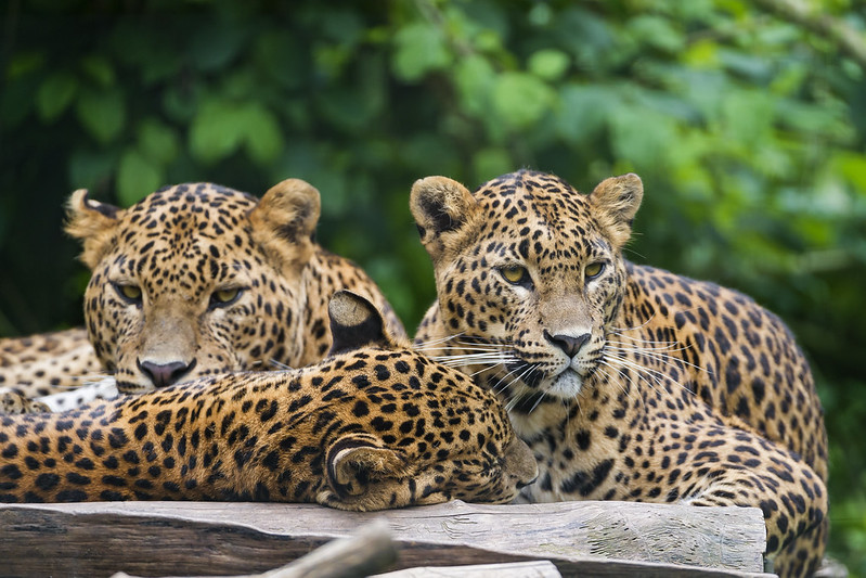 Sri Lankan leopards relaxing on the platform