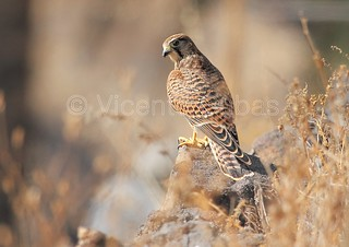 Cernícalo Vulgar ( Falco tinnunculus canariensis)