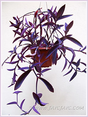 Tradescantia pallida 'Purpurea' or 'Purple Heart' in hanging pot