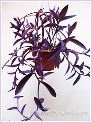 Tradescantia pallida 'Purpurea' or 'Purple Heart' in hanging pot