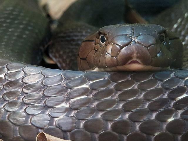 Scalation of King Cobra (Ophiophagus hannah)  Photographed by Bernard Eirrol Tugade