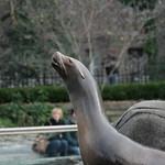 More sea lion