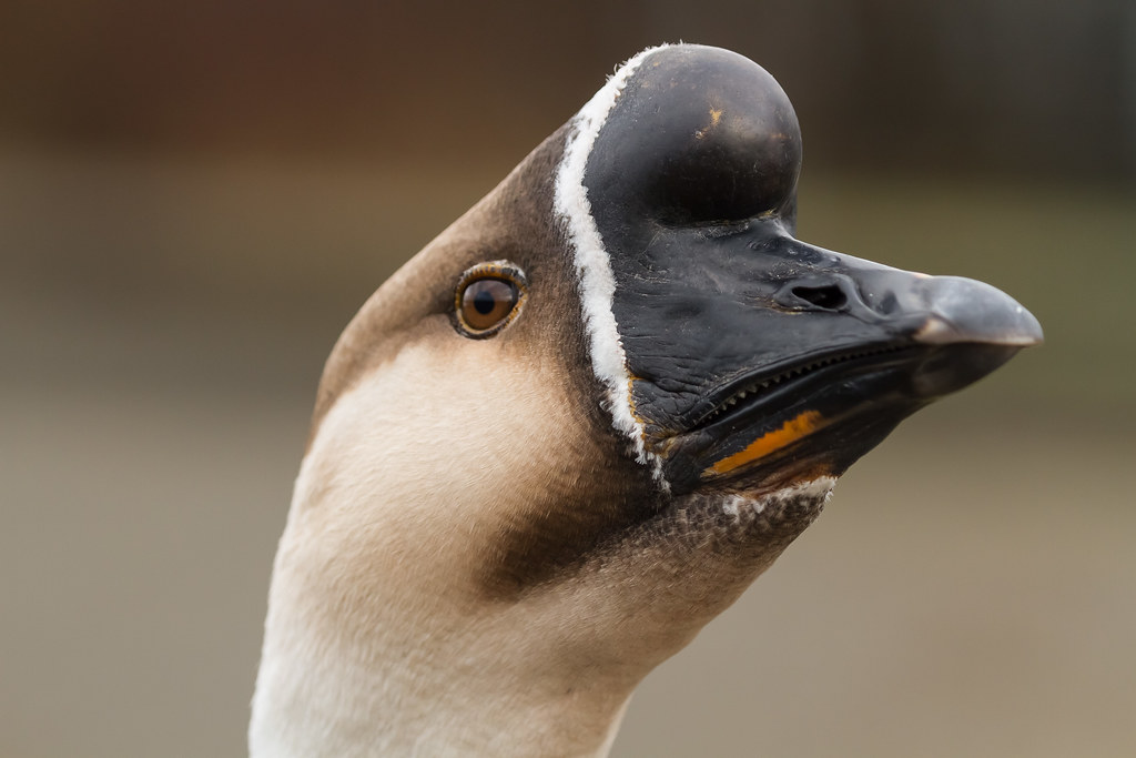 African goose vs chinese goose - photo#25