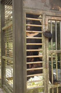 籠內的台灣黑熊。
