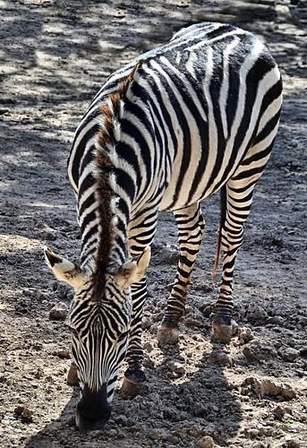 zoo texas stripes zebra brownsville grantszebra gladysporterzoo equusquaggaboehmi nikond7000 nikkor18to200mmvrlens
