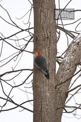 animal, branch, wing, tree, trunk, woodpecker, twig, bird,