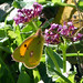 Small photo of Clouded Yellow. Colias crocea. January