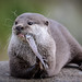 Asian Short clawed Otter by AdrianH Photography